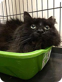 Domestic Mediumhair Cat for adoption in Webster, Massachusetts - Bushy