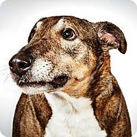 Adopt A Pet :: Angel - New York, NY
