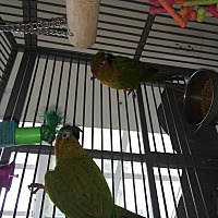Conure for adoption in Punta Gorda, Florida - Cookie & CeeCee