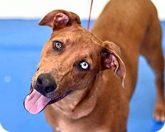 Australian Shepherd Mix Dog for adoption in Newburgh, Indiana - Marshall