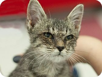 Domestic Shorthair Kitten for adoption in Great Falls, Montana - Helena