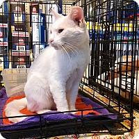 Domestic Shorthair Cat for adoption in Fischer, Texas - Loretta