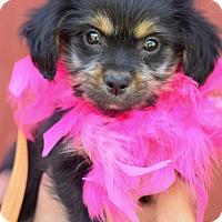 Adopt A Pet :: Anastasia - Denver, CO