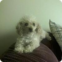 Adopt A Pet :: Gidget - Essex Junction, VT