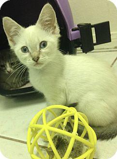 Siamese Kitten for adoption in San Ysidro, California - Pop