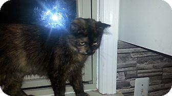 Domestic Mediumhair Cat for adoption in Warren, Michigan - Dusty