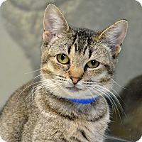 Domestic Shorthair Cat for adoption in Brooksville, Florida - TIGGER