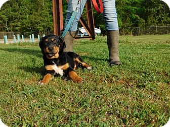 Rottweiler Mix Dog for adoption in Oakdale, Louisiana - Vicki