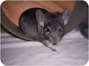 Chinchilla for adoption in Avondale, Louisiana - Ty