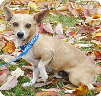 Chihuahua Mix Dog for adoption in Red Bluff, California - Meho