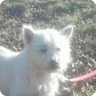 Westie, West Highland White Terrier Dog for adoption in Brattleboro, Vermont - Lila