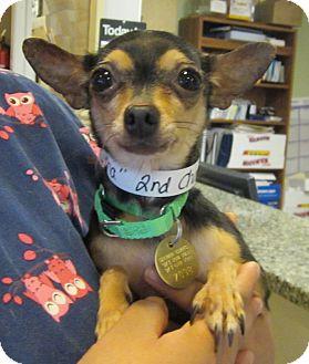 Chihuahua Dog for adoption in Oak Ridge, New Jersey - Kasha-4lbs!