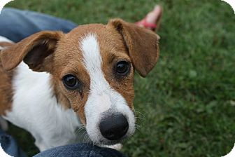 Dachshund/Beagle Mix Dog for adoption in Phillips, Wisconsin - Rob