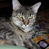Domestic Shorthair Cat for adoption in St. Louis, Missouri - Candy Corn