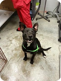 Labrador Retriever/Pit Bull Terrier Mix Dog for adoption in Paducah, Kentucky - Groucho Marx
