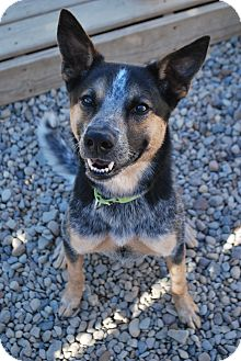 Australian Cattle Dog Mix Dog for adoption in Berea, Ohio - Flannigan