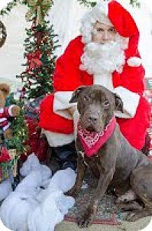 Labrador Retriever/Hound (Unknown Type) Mix Dog for adoption in Darlington, South Carolina - Andrew