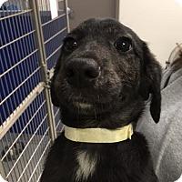 Adopt A Pet :: Henry - Cashiers, NC