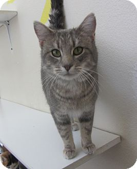 Domestic Shorthair Cat for adoption in Ridgway, Colorado - Tater