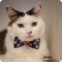 Adopt A Pet :: Joey - Brockton, MA
