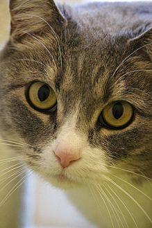 Domestic Shorthair Cat for adoption in Colorado Springs, Colorado - Samara