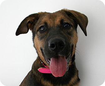 Shepherd (Unknown Type)/Bernese Mountain Dog Mix Puppy for adoption in Monteregie, Quebec - Tanzie