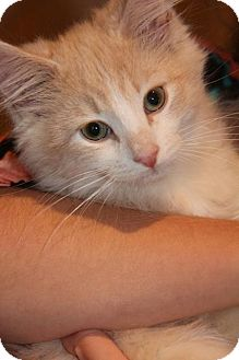 Domestic Mediumhair Kitten for adoption in Huntsville, Ontario - Sebastian - C-U-T-E!
