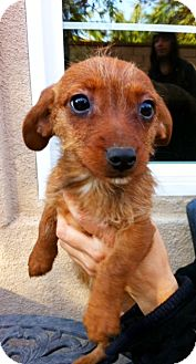Dachshund Mix Puppy for adoption in Irvine, California - DIXIE,