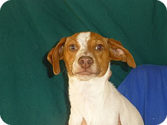 Beagle/Rat Terrier Mix Puppy for adoption in Oviedo, Florida - Donner