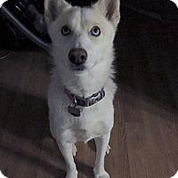 Adopt A Pet :: Khaleesi - Brick, NJ