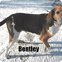 Adopt A Pet :: Bentley - Adopted - March 2015 - Huntsville, ON