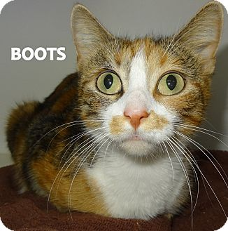 Calico Cat for adoption in Lapeer, Michigan - Boots