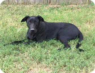 Labrador Retriever Mix Dog for adoption in Arlington/Ft Worth, Texas - Herbie