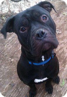 American Bulldog/English Bulldog Mix Dog for adoption in Sylacauga, Alabama - Alex