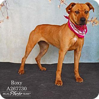 Labrador Retriever Dog for adoption in Conroe, Texas - ROXY