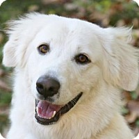 Great Pyrenees Dog for adoption in Garland, Texas - Dora