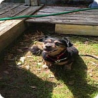 Dachshund Mix Dog for adoption in Tallahassee, Florida - RASCAL