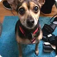 Adopt A Pet :: Mizzy - Centreville, VA