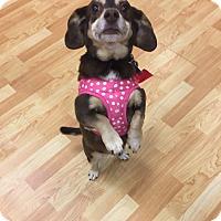 Adopt A Pet :: Lulu - Valencia, CA
