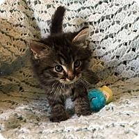 Adopt A Pet :: Wolverine - Winston-Salem, NC