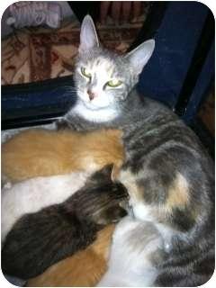 Siamese Kitten for adoption in Whitestone, New York - Angel