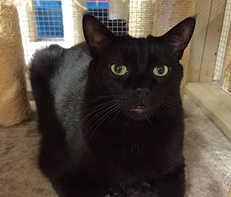 Domestic Shorthair Cat for adoption in Wilmington, Delaware - Aster