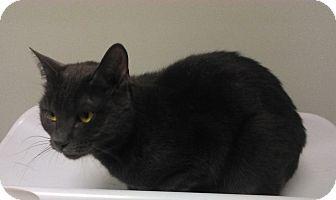 Domestic Shorthair Cat for adoption in Plainville, Massachusetts - Jillian