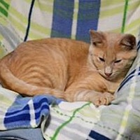American Shorthair Kitten for adoption in Albemarle, North Carolina - Buffet