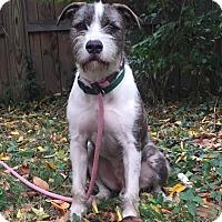 Adopt A Pet :: Cornelius - adoption pending - Norwalk, CT