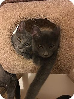 Domestic Shorthair Kitten for adoption in Rochester Hills, Michigan - Callie