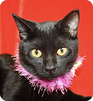 Domestic Shorthair Cat for adoption in Jackson, Michigan - Ze