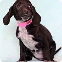 Adopt A Pet :: Nisha - Waldorf, MD