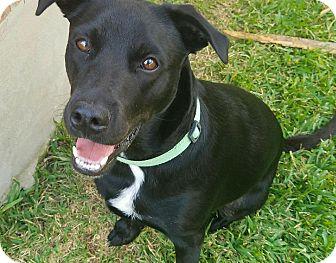 Labrador Retriever Mix Dog for adoption in Schertz, Texas - Daisy