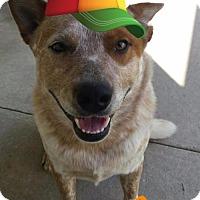 Adopt A Pet :: Bear - Cantonment, FL